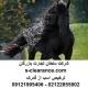 ترخیص اسب از گمرک